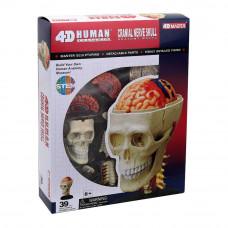 Объемная модель 4D Master Черепно-мозговая коробка человека (FM-626005)